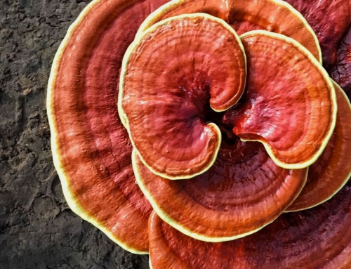 What is Ganoderma and why did I fall in love with it? (30 health benefits)